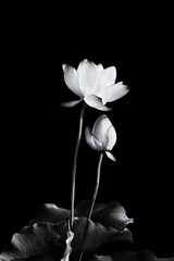 Lotus flower blooming in black and white.
