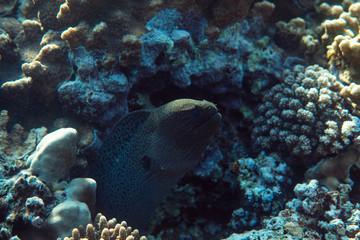 Gymnothorax javanicus underwater in the ocean of egypt, underwater in the ocean of egypt, Gymnothorax javanicus underwater photograph underwater photograph,