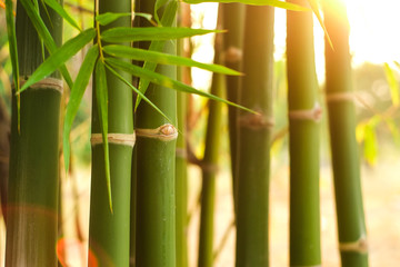 Group of green jointed bamboo tree in the garden with soft orange light in evening close-up.