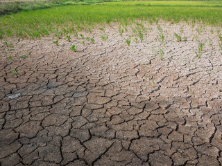 Parched and drought rice field during dry season