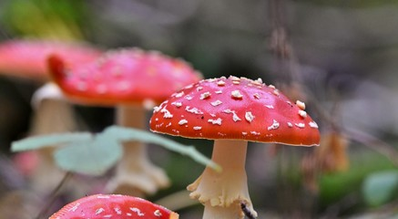 fly agaric in the forest, selective focus