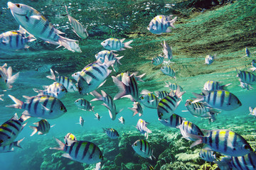 Underwater world. A flock of Sergeant major fish over the Red Sea coral reef.