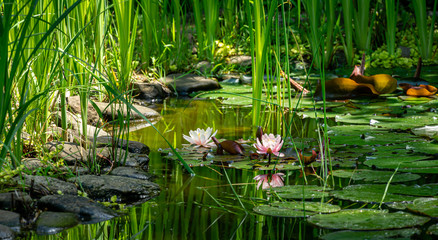 Magic of nature with pink water lilies or lotus flowers Marliacea Rosea. Nympheas are reflected in dark pond water with beautiful bright green plants. Selective focus. Nature concept for design