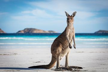 A single kangaroo on the beach at Lucky Bay in the Cape Le Grand National Park, near Esperance, Western Australia