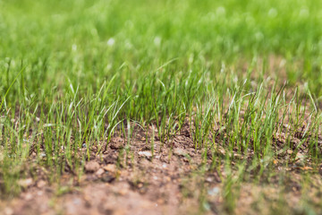 close-up of new grass growing on lawn with dry soil