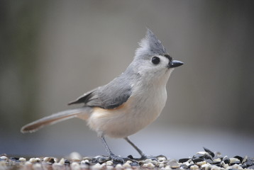 Close-Up Of Tufted Titmouse On Field