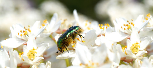 Panoramic image of Cetonia aurata, Rose chafer or the green rose chafer on white flowers of Choisya ternata or Mexican orange blossom. Spring flowering garden. Concept of extinction and environmental