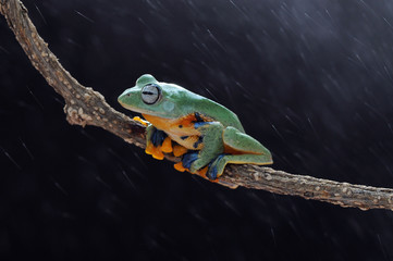Frog, Frogs, flying frog, tree frog,