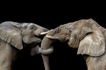 Elephants fighting together