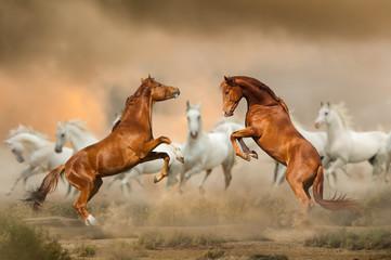 Stallions fighting in desert