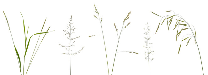 Few stalks, leaves and inflorescences of meadow grass at various angles on white background