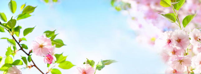 Natural spring floral colorful background banner format. Beautiful branch blossoming cherry soft focus, blue sky, white clouds, sunny day, macro. Gentle pink flower sakura in nature, copy space.