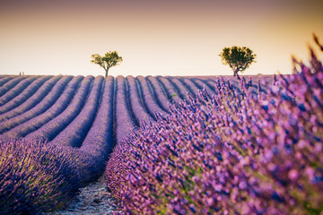 Beautiful blooming lavender field in Valensole, France