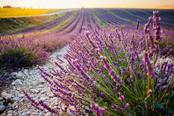 Lavender and sunflower fields in Provence, France