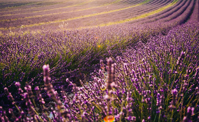 Blooming lavender field at sunset