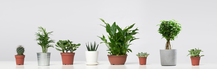 Several indoor plants, cacti in pots, standing in row on empty gray background