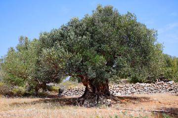 Olivenbaum (Olea europaea) alter Baum, Insel Kreta, Griechenland, Europa