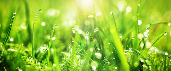Fresh juicy young grass in droplets of morning dew, spring on a nature macro. Drops of water on the grass, natural wallpaper, panoramic view, soft focus.