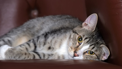 striped european shorthair cat on  armchair