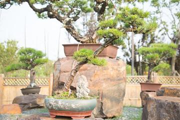 Pine bonsai in the basin garden of Nantong, China