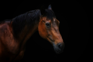Portrait of senior horse with black background