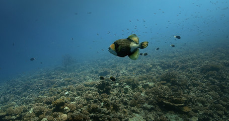 Titan Triggerfish alone in the Pacific Ocean. Underwater life with beautiful fish in the ocean. Tropical fish near coral reef. Diving in the clear water.