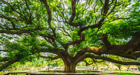Panorama beautiful nature scenic landscape Giant Monkey Pod Tree, Attraction famous landmark tourist travel Kanchanaburi Thailand summer vacation trips, Tourism destinations spring scenery place Asia
