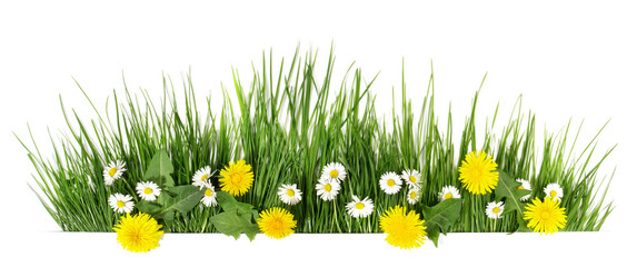 Spring grass with daisy and dandelion flowers isolated on white - Panorama