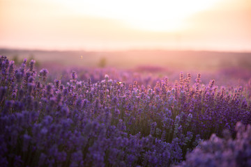 a close up of lavender flowers at sunset.