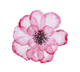 Grande corolla di fiore in trasparenza, isolata su sfondo bianco
