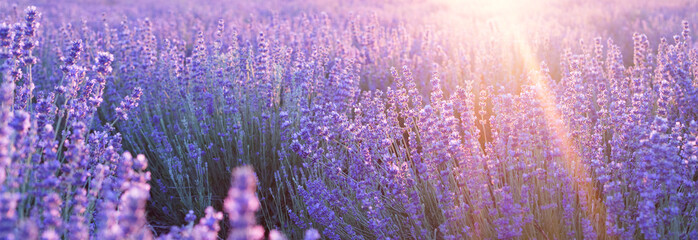 Flowers at sunset rays in the lavender fields in the mountains. Beautiful image of lavender over summer sunset landscape.