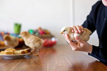 Preteen child, holding little baby chick at home on Easter day
