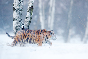 Tiger in wild winter nature, running in the snow. Siberian tiger, Panthera tigris altaica. Action wildlife scene with dangerous animal. Cold winter in taiga, Russia. Snowflakes with wild Amur cat.
