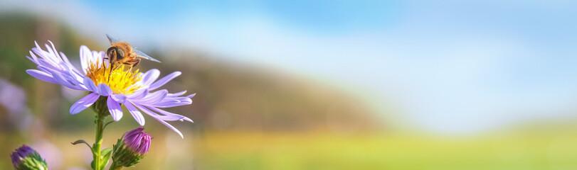 Eine Wildbiene trinkt im Sommer von einer Blüte auf einer Blumenwiese