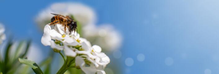 Die rotpelzige Sandbiene als Wildbiene sitzt auf den Blüten der Schleifenblume