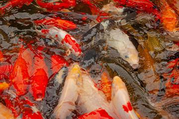 Red carps in decorative pond in Ubud, Indonesia