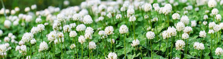 Panoramic view of white clover flowers on green color bokeh background