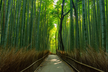 Vibrant Scenic Panoramic View of a Bamboo Forest in Kyoto, Japan for Calming Sense