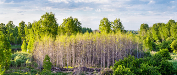 Spring landscape. Young birches lit by the sun.