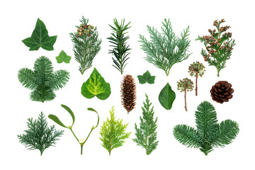 Natural winter greenery with flora & fauna of ivy, mistletoe, cedar cypress, spruce fir, yew & pine cones. Nature study