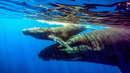 Mom whale delicately takes her little baby to breathe to the surface. Reunion Island (Francia)
