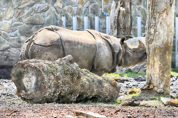 WROCLAW, POLAND - JUNE 09, 2020: Indian Rhinoceros. The Wroclaw Zoological Garden is the oldest and most visited zoo in Poland (and the fifth in Europe).