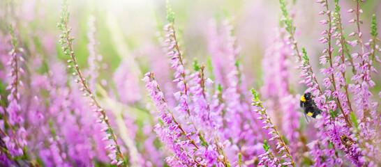Purple heather flowers with bee on meadow