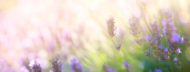 Summer floral landscape; beautiful summer lavender flower against evening sunny sky; nature landscape background.
