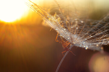 An ant is crawling on a dandelion parachute on the background of sunset. Insect macro