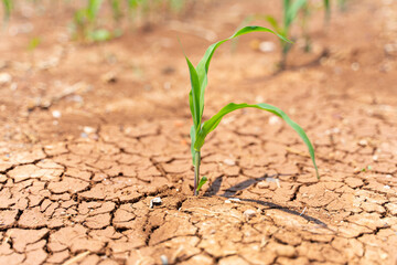 Corn crops suffer as drought continues. Corn field with very dry soil. Dry Corn field in the Turkey. Extreme droogte in Adana. Agriculture