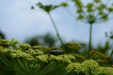 Flower chafers eating nectar of white flower. Scarabaeidae family.