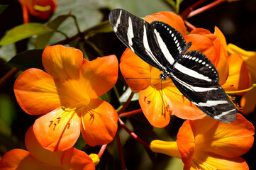 Zebra Longwing butterfly on tropical rhododendron simbu sunset flowers
