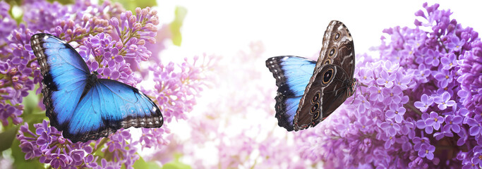 Amazing common morpho butterflies on lilac flowers in garden, banner design