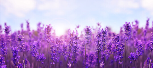 Beautiful lavender field, closeup. Banner design